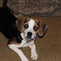 Adopt A Pet :: Marlie Chi/Beagle - Cincinnati, OH