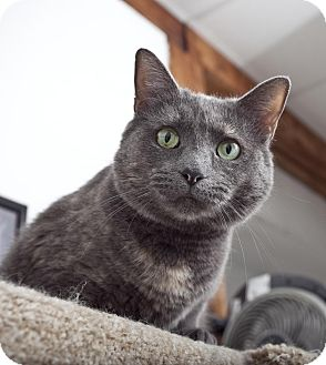 Domestic Shorthair Cat for adoption in Chesapeake, Virginia - Isabelle