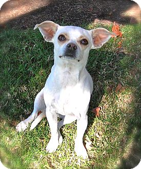 Chihuahua Mix Dog for adoption in El Cajon, California - Magnolia