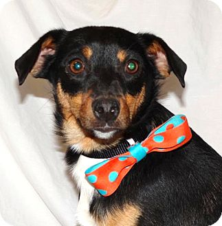 Rat Terrier/Terrier (Unknown Type, Small) Mix Dog for adoption in Westport, Connecticut - *Wally - PENDING