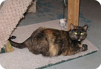Domestic Shorthair Cat for adoption in Geneseo, Illinois - Sam