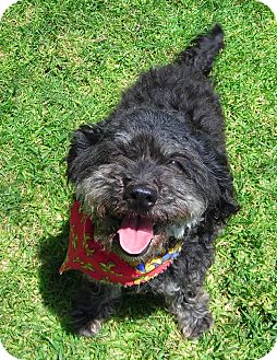 Poodle (Miniature) Mix Dog for adoption in El Cajon, California - Violet