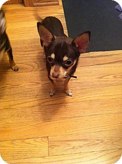 Chihuahua Puppy for adoption in Chicago, Illinois - BELLE