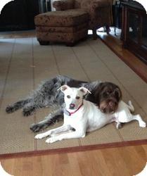 Labrador Retriever/Cattle Dog Mix Dog for adoption in Naugatuck, Connecticut - Sadie