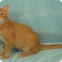 Domestic Shorthair Cat for adoption in Elkhorn, Wisconsin - Phoenix