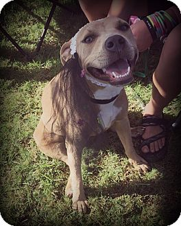 Mountain Cur/American Pit Bull Terrier Mix Dog for adoption in Cleveland, Oklahoma - Keera(Free to good home)