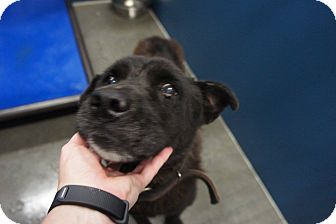 Labrador Retriever Mix Dog for adoption in Henderson, North Carolina - Vadar