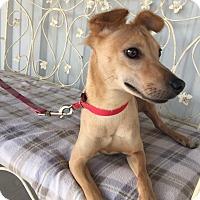 Adopt A Pet :: Levi - Norwalk, CT