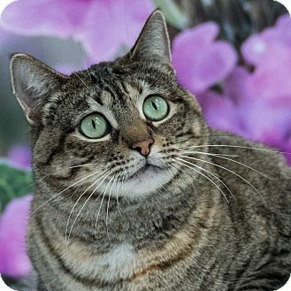 Domestic Shorthair Cat for adoption in Houston, Texas - Madeleine