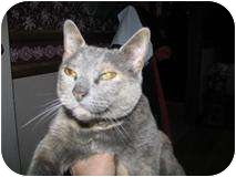 Domestic Shorthair Cat for adoption in Ocean City, New Jersey - Abigail Rose