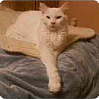 Adopt A Pet :: Snowflake - Arlington, VA
