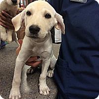 Adopt A Pet :: Dorothy - Cumming, GA