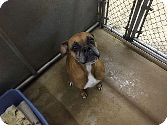 Boxer Mix Dog for adoption in Hesperia, California - Riley