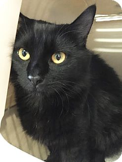 Domestic Longhair Kitten for adoption in Boca Raton, Florida - Janet