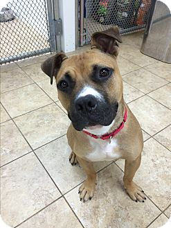 Boxer/Pit Bull Terrier Mix Dog for adoption in levittown, New York - Lizzy