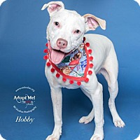 Pit Bull Terrier/Boxer Mix Dog for adoption in Houston, Texas - Hobby