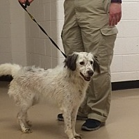 English Setter/Brittany Mix Dog for adoption in Mount Dora, Florida - TN/Snowy