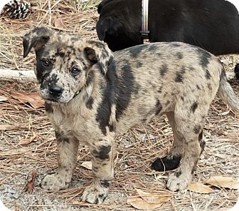 Catahoula Leopard Dog/Mountain Cur Mix Puppy for adoption in Saratoga Springs, New York - Mattie ~ ADOPTED!