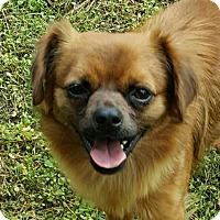 Chihuahua/Pomeranian Mix Dog for adoption in Duluth, Georgia - Timon