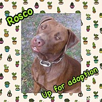Labrador Retriever/Pit Bull Terrier Mix Dog for adoption in Tampa, Florida - Rosco A*
