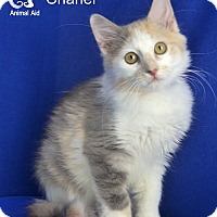Domestic Mediumhair Cat for adoption in Carencro, Louisiana - Chanel