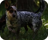 Jack Russell Terrier/Australian Cattle Dog Mix Dog for adoption in Washington, D.C. - Athena($200 adoption fee)