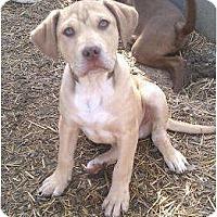 Adopt A Pet :: Adam - Staunton, VA
