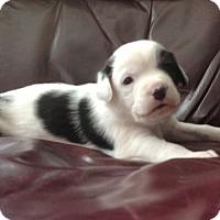 Adopt A Pet :: Minion - Denver, CO