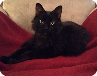 Maine Coon Cat for adoption in Houston, Texas - Buddy