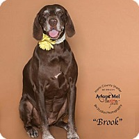 German Shorthaired Pointer/Labrador Retriever Mix Dog for adoption in Vancouver, British Columbia - Brook