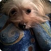 Adopt A Pet :: LACIE - Mahopac, NY