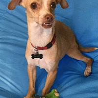 Chihuahua/Greyhound Mix Dog for adoption in San Francisco, California - Prince Max