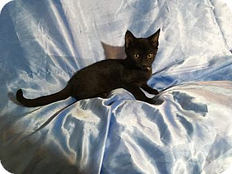 Bombay Kitten for adoption in Sarasota, Florida - Nora