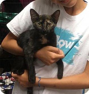 Domestic Shorthair Kitten for adoption in Centerville, Georgia - September