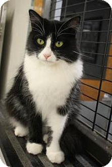 Domestic Longhair Cat for adoption in Yukon, Oklahoma - Olive