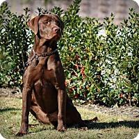 Adopt A Pet :: Hershey aka Scout - Lincoln, NE