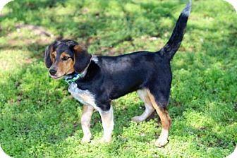 Australian Shepherd/Beagle Mix Puppy for adoption in richmond, Virginia - PUPPY FIESTA