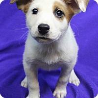 Adopt A Pet :: SUNNY - Westminster, CO