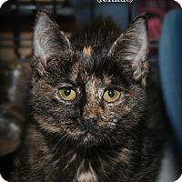 Adopt A Pet :: Brindy - Springfield, PA