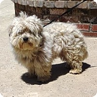 Adopt A Pet :: Shorty - Lathrop, CA