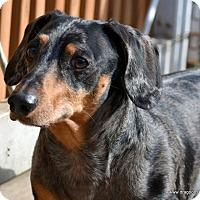 Adopt A Pet :: Chauncey, pending home - Spokane, WA