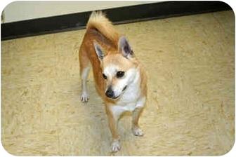 Chihuahua/Shiba Inu Mix Dog for adoption in Racine, Wisconsin - Peanut