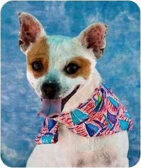Chihuahua Dog for adoption in Mesa, Arizona - Mickey
