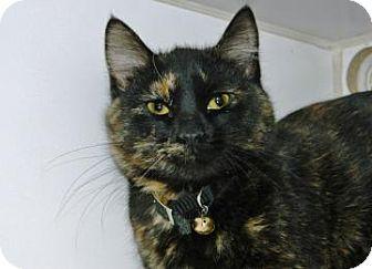 Domestic Shorthair Kitten for adoption in Cheyenne, Wyoming - Monroe