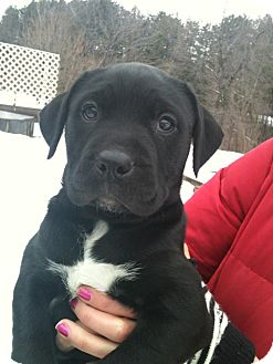 Labrador Retriever/Boxer Mix Puppy for adoption in Hadley, Michigan - Bishop