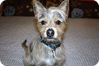 Silky Terrier/Terrier (Unknown Type, Small) Mix Dog for adoption in Bellflower, California - Odie-I do not shed!