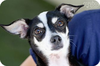 Chihuahua/Terrier (Unknown Type, Medium) Mix Dog for adoption in Mission Viejo, California - Twiggie