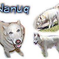 Adopt A Pet :: Nanuq - Seminole, FL