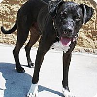 Adopt A Pet :: Pete - Gilbert, AZ