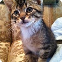 Adopt A Pet :: Kit - Trevose, PA
